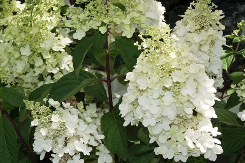 Rispenhortensie 'Magical Moonlight' ® - Hydrangea paniculata 'Magical Moonlight' ®
