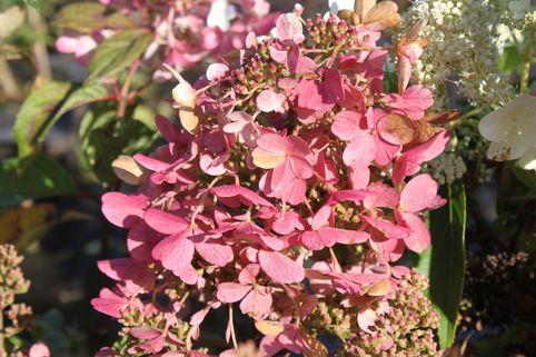Rispenhortensie 'Mega Mindy' ® / 'Ilvomindy' - Hydrangea paniculata 'Mega Mindy' ® / 'Ilvomindy'
