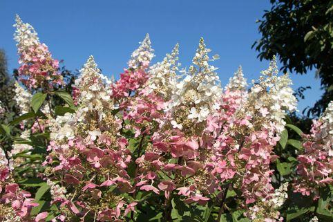 Rispenhortensie 'Pinky Winky' ® - Hydrangea paniculata 'Pinky Winky' ®