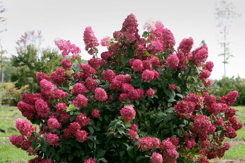 Rispenhortensie Proven Winners ® 'Fire Light' - Hydrangea paniculata Proven Winners ® 'Fire Light'