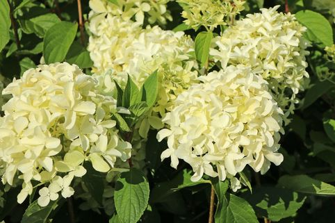 Rispenhortensie 'Skyfall' ® - Hydrangea paniculata 'Skyfall' ®