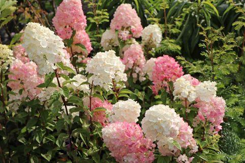 Rispenhortensie 'Sundae Fraise' - Hydrangea paniculata 'Sundae Fraise'