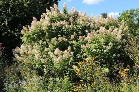 Rispenhortensie 'Tardiva' - Hydrangea paniculata 'Tardiva'