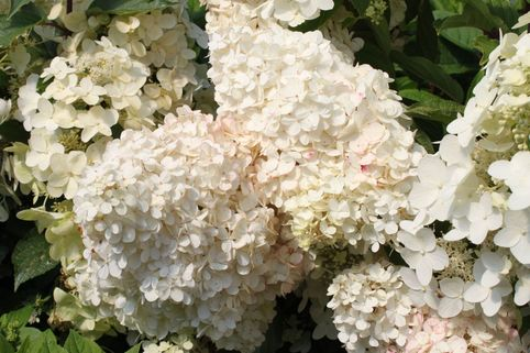 Rispenhortensie 'Unique' - Hydrangea paniculata 'Unique'