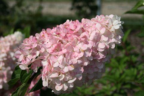 Rispenhortensie 'Vanille-Fraise' - Hydrangea paniculata 'Vanille-Fraise'
