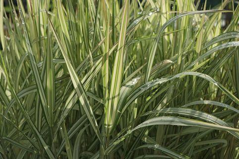 Rohr-Glanzgras 'Feesey' - Phalaris arundinacea 'Feesey'