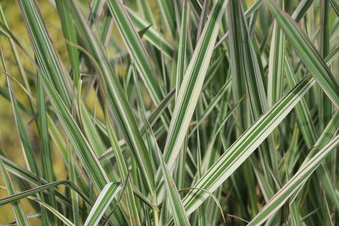 Rohr-Glanzgras 'Picta' - Phalaris arundinacea 'Picta'
