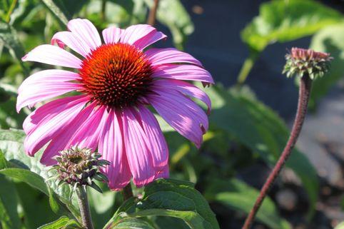Rosa Scheinsonnenhut 'Primadonna' ® rosa - Echinacea purpurea 'Primadonna' ® Rosa