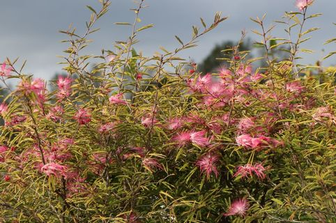 Rosa Puderquastenstrauch 'Dixie Pink' - Calliandra surinamensis 'Dixie Pink'