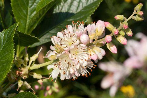Rosa Silberkerzenstrauch - Clethra alnifolia 'Rosea'