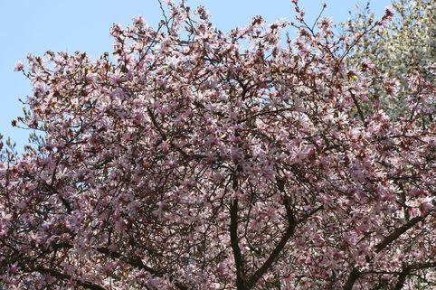 Rosa Sternmagnolie 'Leonard Messel' - Magnolia loebneri 'Leonard Messel'