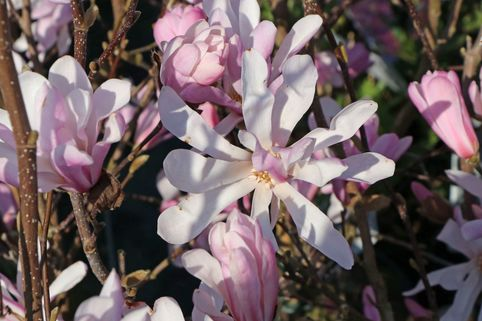 Rosa Sternmagnolie 'Rosea' - Magnolia stellata 'Rosea'
