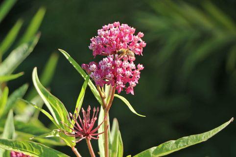 Rosablühende Seidenpflanze - Asclepias incarnata