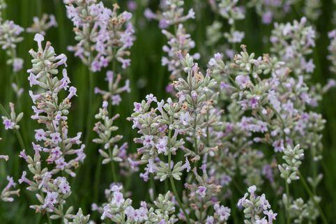 Rosablühender Lavendel 'Hidcote Pink' - Lavandula angustifolia 'Hidcote Pink'