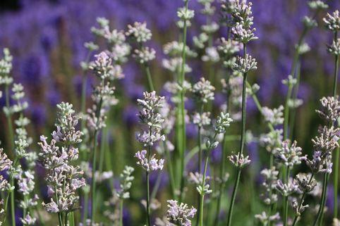 Rosablühender Lavendel 'Loddon Pink' - Lavandula angustifolia 'Loddon Pink'