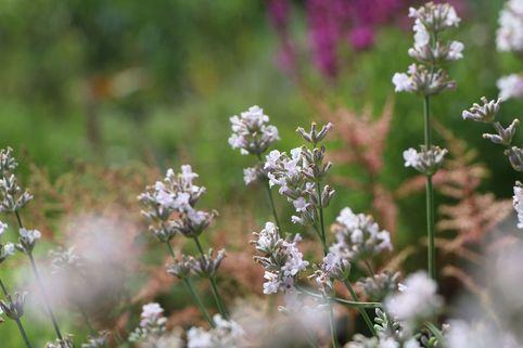 Rosablühender Lavendel 'Rosea' - Lavandula angustifolia 'Rosea'