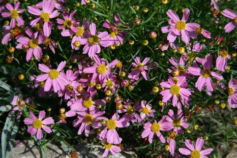 Rosablühendes Schönauge 'American Dream' - Coreopsis rosea 'American Dream'