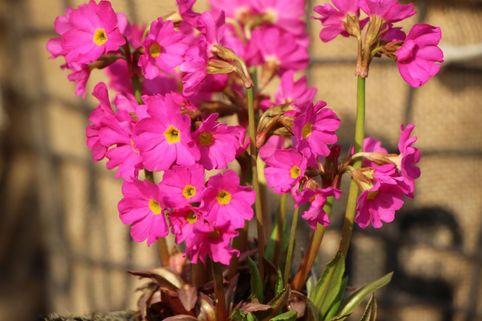 Rosen-Schlüsselblume 'Gigas' - Primula rosea 'Gigas'