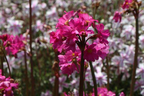 Rosen Schlüsselblume - Primula rosea