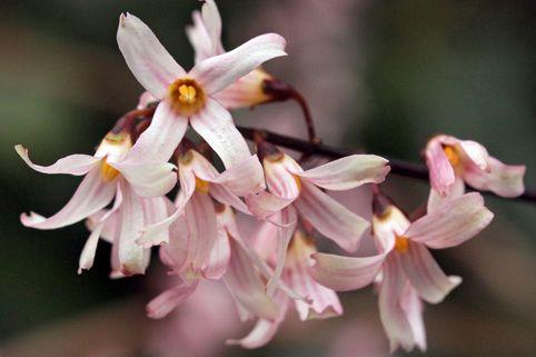 Rosenforsythie - Abeliophyllum distichum 'Roseum'