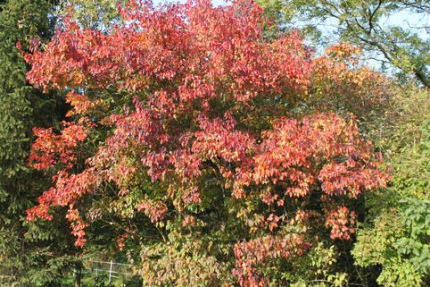 Rot-Ahorn - Acer rubrum