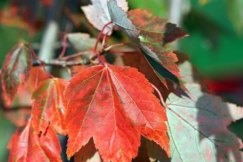 Rotahorn 'October Glory' - Acer rubrum 'October Glory'