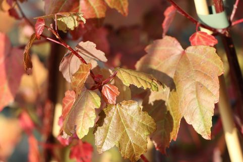 Rotahorn 'Summer Red' ® - Acer rubrum 'Summer Red' ®