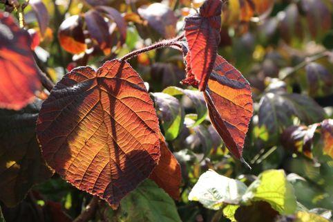 Rotblättrige Korkenzieherhasel 'Red Majestic' - Corylus maxima 'Red Majestic'