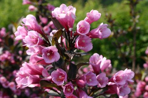 Rotblättrige Weigelie 'Purpurea' - Weigela florida 'Purpurea'