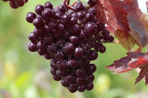 Rotblättrige Weinrebe - Vitis vinifera 'Purpurea'