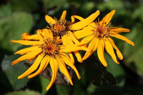 Rotblättriger Strauß Goldkolben 'Moorblut' - Ligularia dentata 'Moorblut'