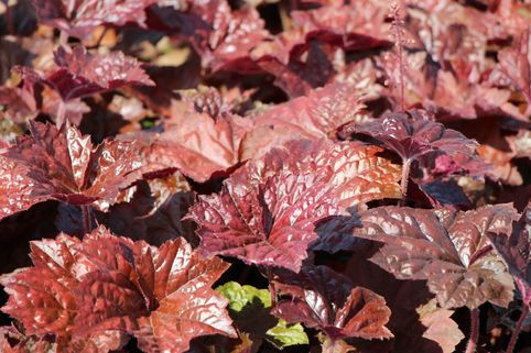 Rotblättriges Silberglöckchen 'Palace Purple' - Heuchera micrantha 'Palace Purple'