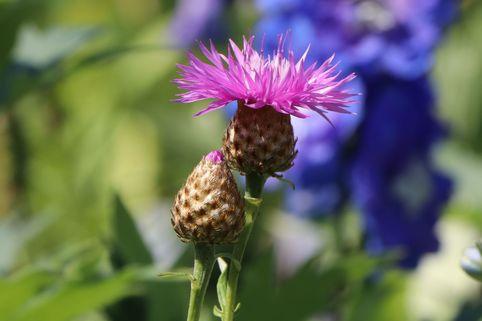 Rotblühende Flockenblume 'Steenbergii' - Centaurea dealbata 'Steenbergii'