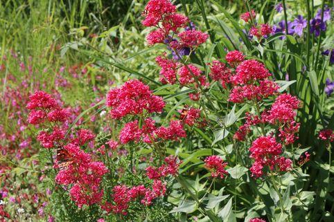 Rotblühende Spornblume 'Rosenrot' - Centranthus ruber 'Rosenrot'