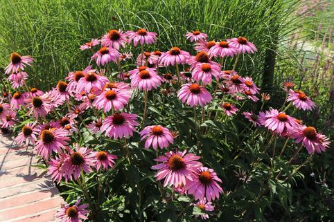 Rotblühender Scheinsonnenhut 'Magnus' - Echinacea purpurea 'Magnus'