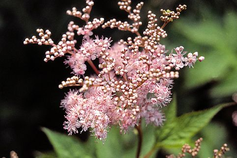 Rotblühendes Mädesüß 'Elegans' - Filipendula purpurea 'Elegans'
