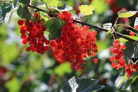 Rote Johannisbeere 'Jonkheer van Tets' - Ribes rubrum 'Jonkheer van Tets'