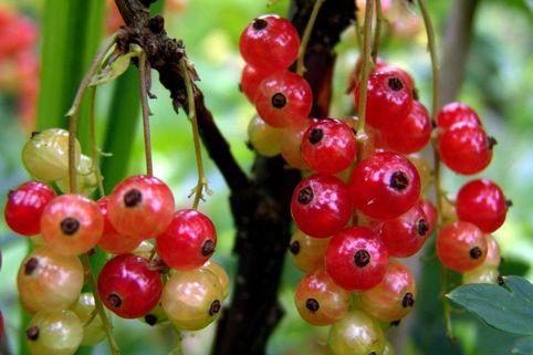 Rote Johannisbeere - Ribes rubrum