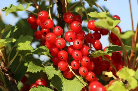 Rote Johannisbeere 'Rotet' - Ribes rubrum 'Rotet'