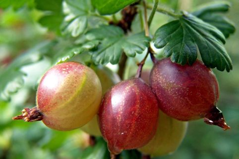 Rote Stachelbeere 'Achilles' - Ribes uva-crispa 'Achilles'