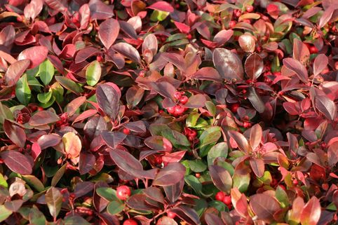 Rote Teppichbeere - Gaultheria procumbens