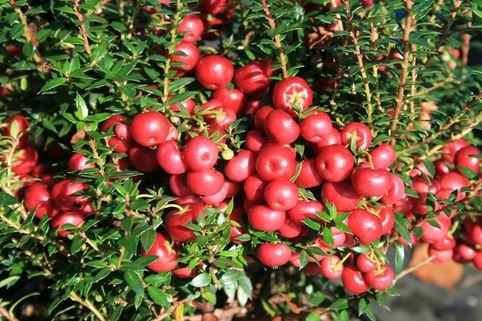 Rote Torfmyrthe - Pernettya mucronata 'Purpurea'