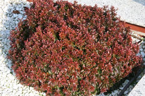 Rote Zwergberberitze / kleine Blutberberitze - Berberis thunbergii 'Atropurpurea Nana'