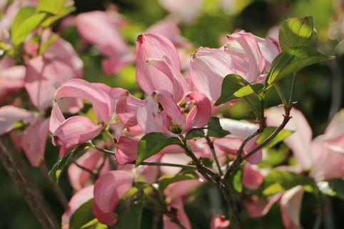Roter Blumen-Hartriegel 'Rubra' - Cornus florida 'Rubra'