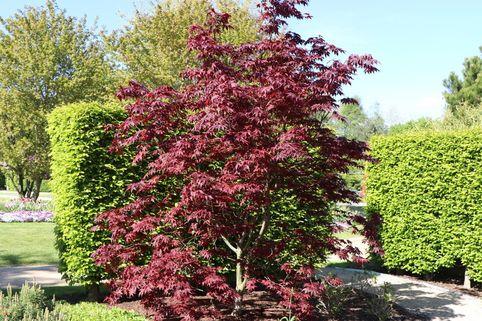 Roter Fächer-Ahorn 'Bloodgood' - Acer palmatum 'Bloodgood'