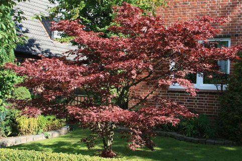 Roter Fächerahorn 'Atropurpureum' - Acer palmatum 'Atropurpureum'