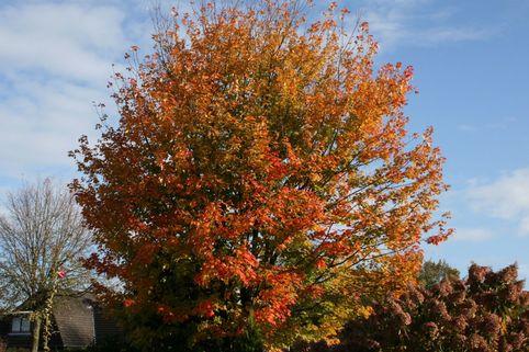 Roter Kolchischer Ahorn / Kolchischer Blutahorn - Acer cappadocicum 'Rubrum'