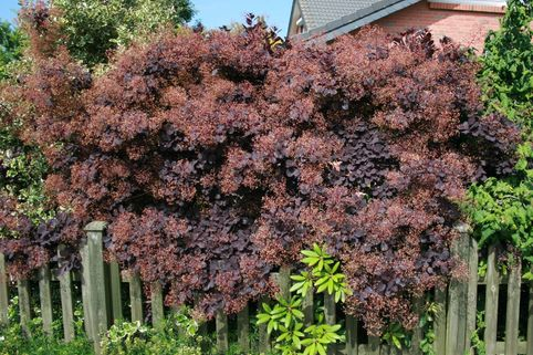 Roter Perückenstrauch 'Royal Purple' - Cotinus coggygria 'Royal Purple'