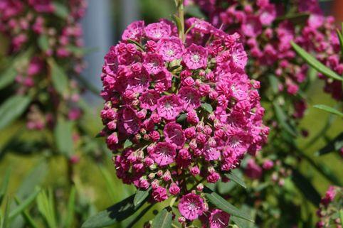 Rotes Lorbeerröslein / Lorbeerrose - Kalmia angustifolia 'Rubra'