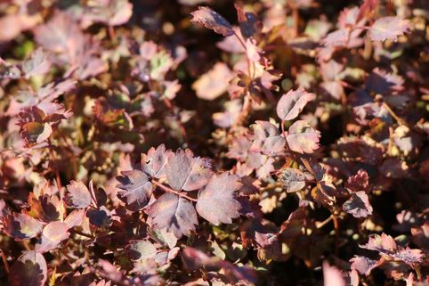 Rotes Stachelnüsschen 'Purpurea' - Acaena inermis 'Purpurea'